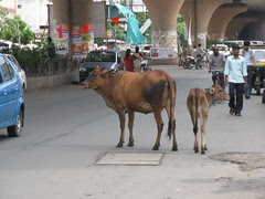 #235 - Street Cows