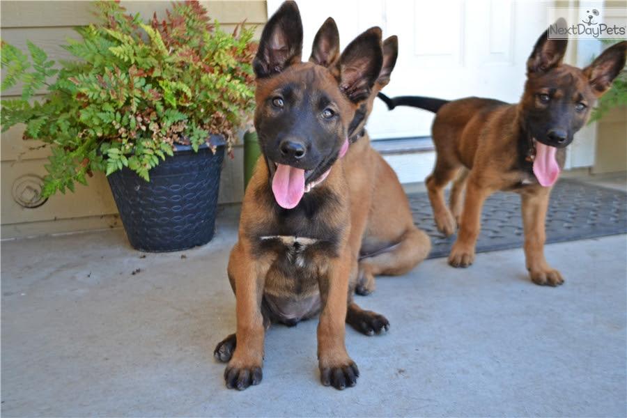 Belgian Malinois puppy for sale near Sacramento ...