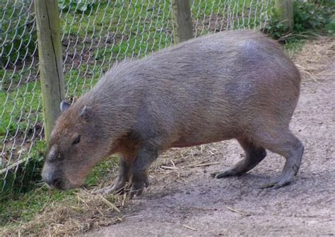 capybara (biggest rat we've seen)   Picture of Birmingham Wildlife Conservation Park, Birmingham