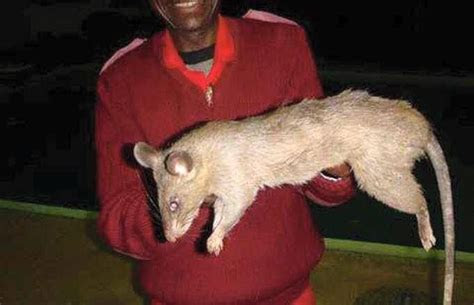 Giant New York Rat   Urban Legends