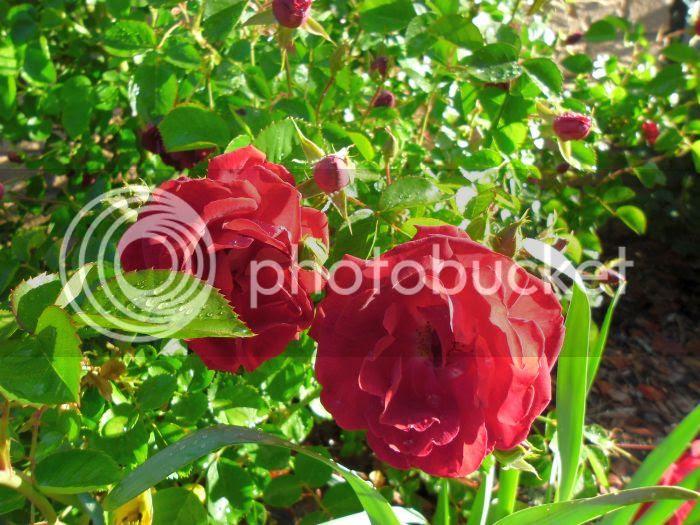photo roses3_zpsa6da87b6.jpg