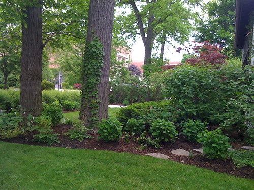 Front yard facing north. New hydrangeas and bleeding heart.