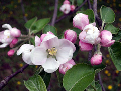 AppleBlossoms_51111o