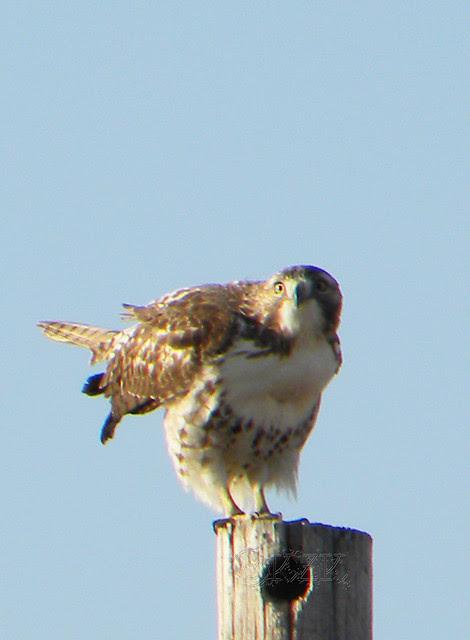 DSCN4637e Hawk