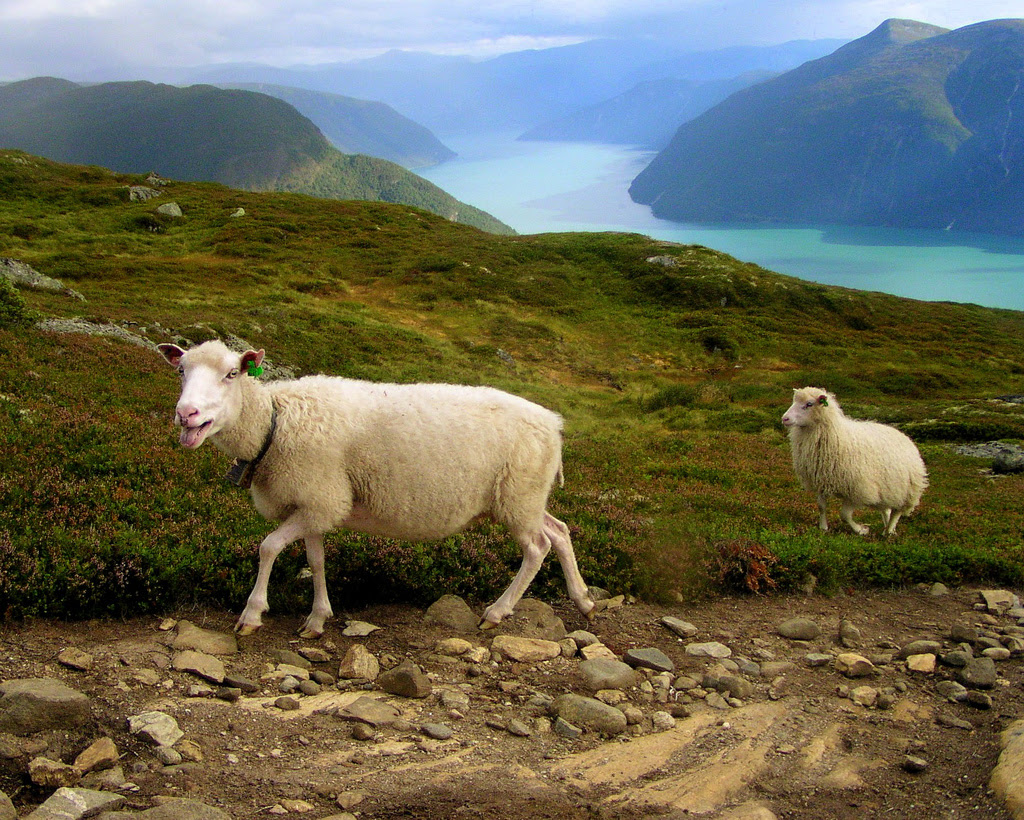 Sheep and Landscape Norway