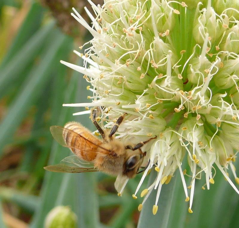 蔥花與蜜蜂