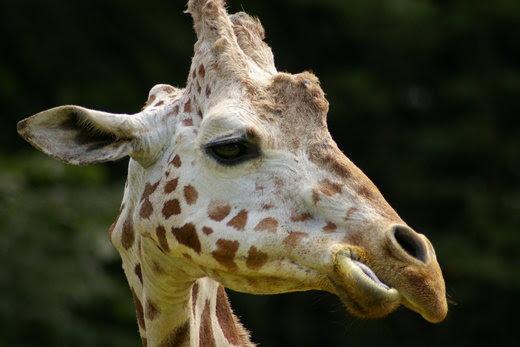 キリンの頭 2 東山動物園の動物の写真と動画 Mi84ta S