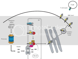 immunoblogging  evolution of the immune system  mhc part ii
