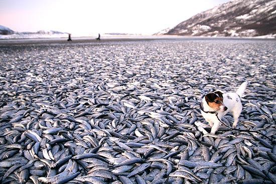 Cachorra Molly passeia entre os peixes mortos em praia ao norte da Noruega