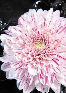 ผลการค้นหารูปภาพสำหรับ fleur chrysanthème