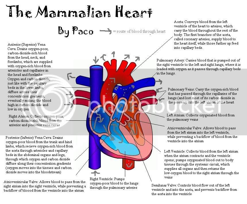 natalie portman: simple heart diagram blood flow
