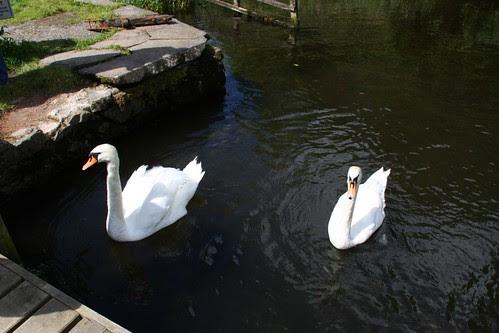 Swans on Windermere