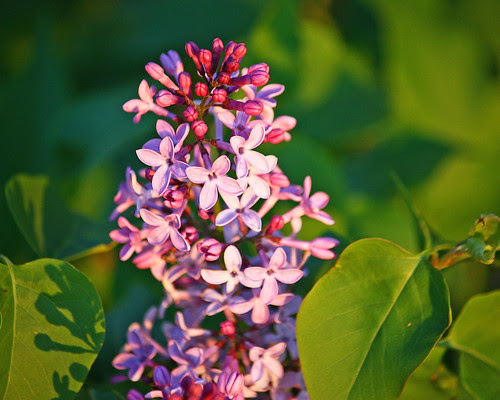 Lilacs are blooming!