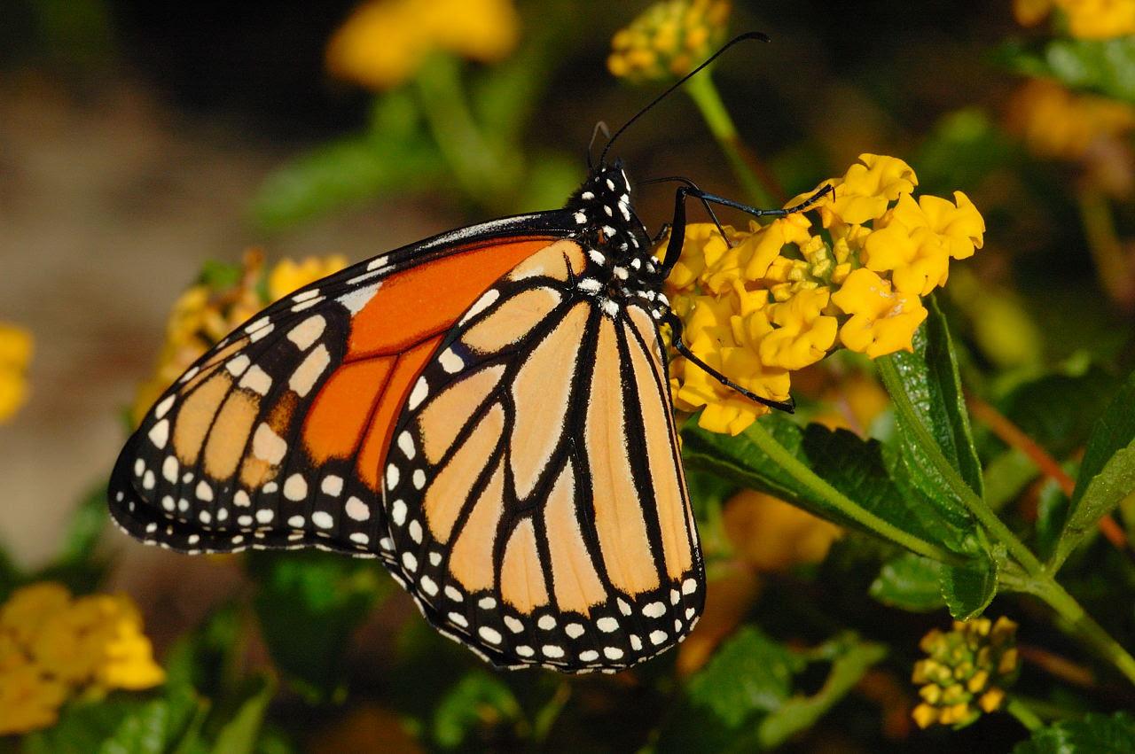 Free Wallpaper Butterfly - WallpaperSafari