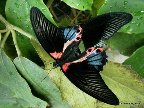 El Coito de las Papilio Rumanzovia