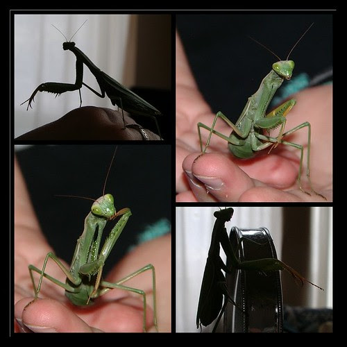 Angelina praying-mantis