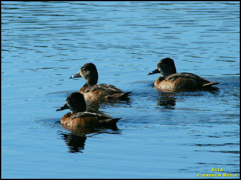 Ring-necked_Duck