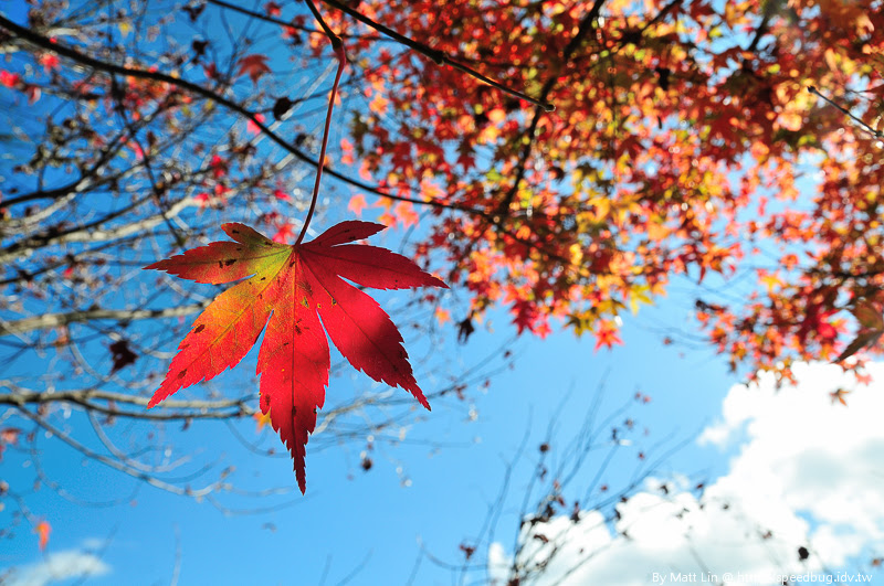 福壽山農場楓紅-56