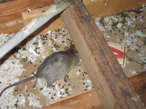 How Big Is Rat Poop Pictures to Pin on Pinterest   PinsDaddy