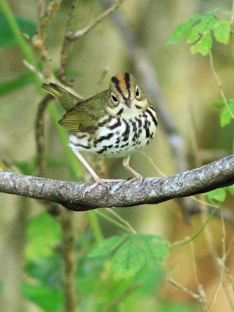 Ovenbird 5-20130922