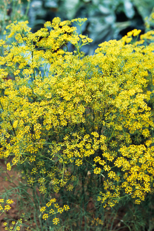 Best Flowering Herbs