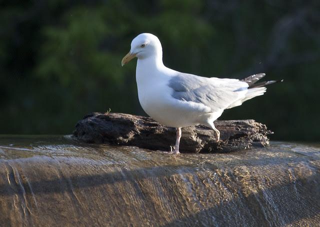 one legged gull again