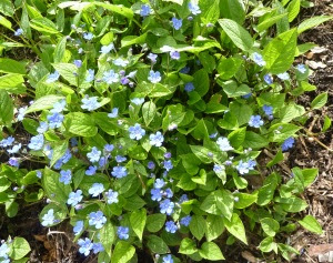 Omphalodes_verna_'Creeping_forget-me-not'_(Boraginaceae)_plant