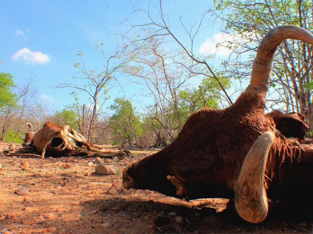 Gado está morrendo de fome e sede no interior do Rio Grande do Norte (Foto: Aldair Dantas)