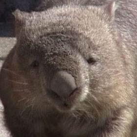 common-wombat-head.jpg