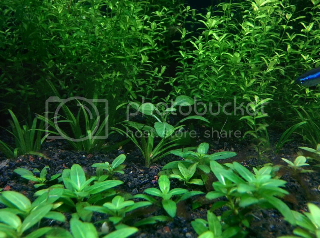 hygrophila pinnatifida flowgrow aquatic plant