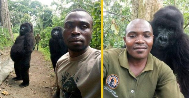Gorillas are interested in taking selfies with the officers! Watch to make your day jolly