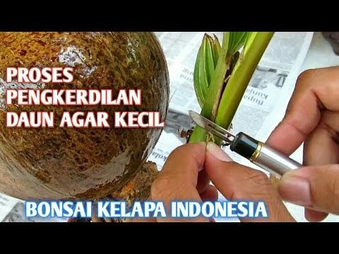 Cara Mengecilkan Daun Bonsai Asem Jawa