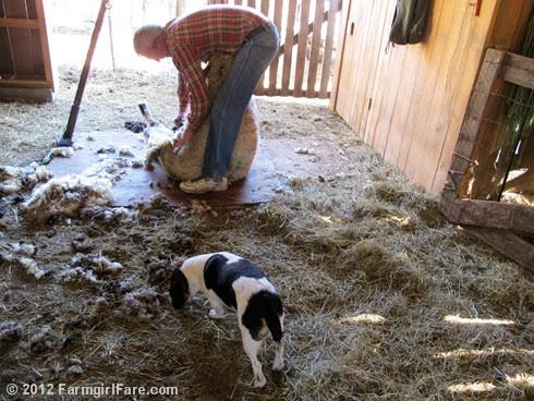 2012 Sheep shearing day 24 - FarmgirlFare.com