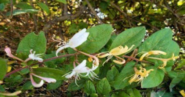 Αγιόκλημα: Ένα θαυματουργό φαρμακευτικό φυτό που πρέπει να γνωρίζετε!