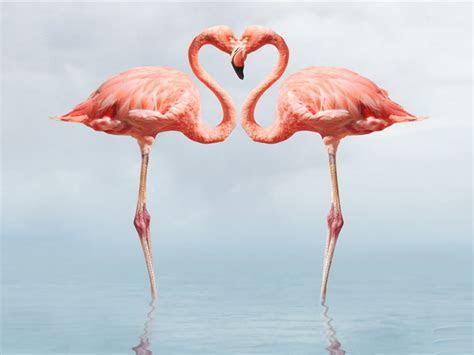 flamingo full hd wallpapers p wallpaperscom