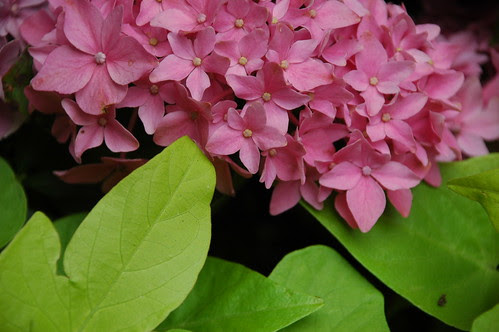 Detail, Hydrangea and Sweet Potato Vine, 116 Lafayette Avenue