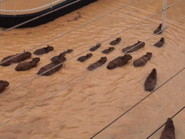 Capivaras estavam nadando no centro de Rio do Sul (Foto: Orlando Pereira/Divulgação)