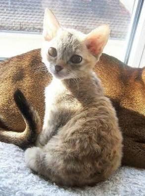 German Rex cat