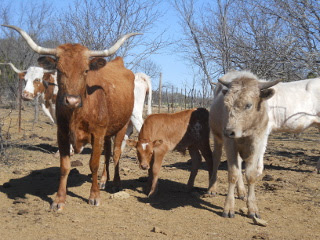 New Longhorn Calf Vinicio with His Mother and Brother