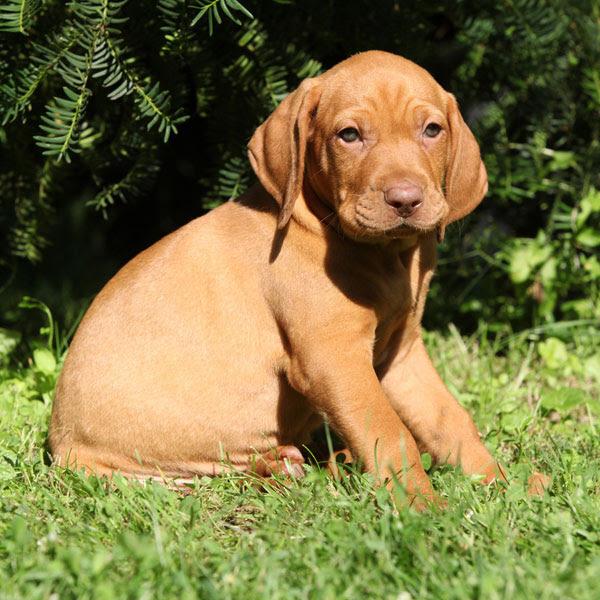 Sunrise Vizsla Puppies for Sale Louisiana USA