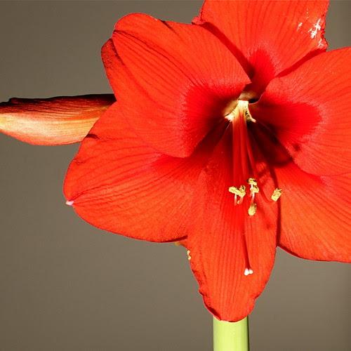 Amaryllis Bloom 1