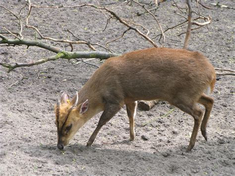 Muntjac de Reeves   Wikiwand