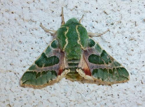 pacific green sphinx moth