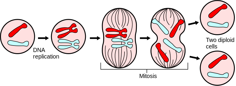 File:Major events in mitosis.svg