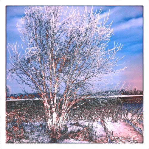 Hoarfrosted Tree ~ Sketchy [Photo by Marianne Dow]