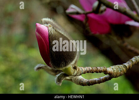 Magnolia is a large genus of about 210 flowering plant species in ...
