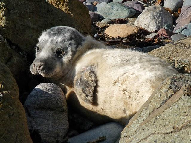 25270 - Seal Pup, Porthlysgi Bay