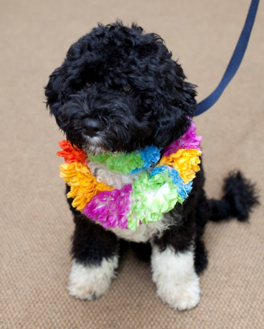 obama puppy bo is Portuguese water dog