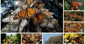 EEUU-monarcas-abejas