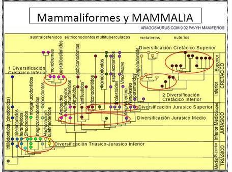 Mamaliformes_y_mamalia.JPG